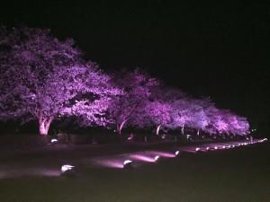 一昨晩、たまたま(年に何度かの・・。)訪れた駅北の夜桜です。  画像提供:キミコさん